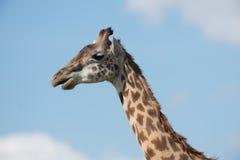 Profilo laterale della giraffa Immagine Stock