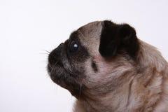 Profilo laterale di un pug Fotografia Stock Libera da Diritti