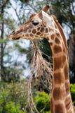 Profilo lungo del collo della giraffa Immagini Stock Libere da Diritti