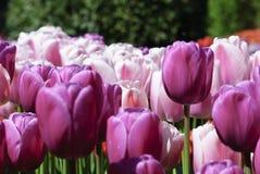 Profilo rosa & porpora dei tulipani Fotografia Stock Libera da Diritti