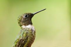 Profilo Rubino-Throated maschio del colibrì Fotografie Stock Libere da Diritti