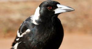Profilo selvaggio dell'ente superiore della gazza australiana Fotografie Stock