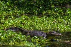 Profilo sparato di grande alligatore selvaggio che cerca un pasto nel Texas. Fotografia Stock Libera da Diritti