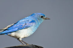 Profilo vicino di un uccellino azzurro maschio della montagna Fotografie Stock