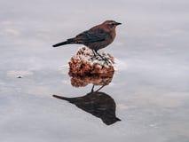 Profilowa fotografia chochla ptak na skale z lustrzanym odbiciem w wodzie obrazy royalty free