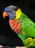 profilowa lorikeet tęcza Zdjęcie Royalty Free