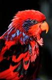 profilowa lory czerwień Obraz Royalty Free
