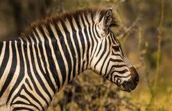 Profil obdzierająca zebra przy świtem w Tanzania, Afryka Zdjęcie Royalty Free