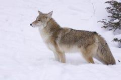 profilowy kojota widok Obrazy Stock