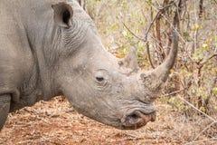 profilowy nosorożec strony biel Fotografia Stock