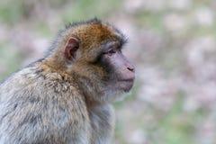Profilowy portret Barbary makak na zamazanym tle zdjęcie stock
