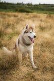 Profilowy portret bezpłatny i prideful siberian husky pies z brązem przygląda się obsiadanie w trawie przy zmierzchem obraz stock