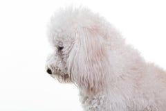 Profilowy portret biały pudel obraz stock