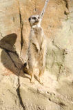 Profilowy portret na Pojedynczym ogoniastym Meerkat Stoi Przy Zdjęcia Stock