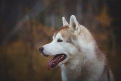 Profilowy portret piękny, bezpłatny psa trakenu Syberyjskiego husky obsiadanie w ciemnym jesień lesie i zdjęcie stock