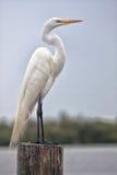 Wielki biały egret Obraz Stock