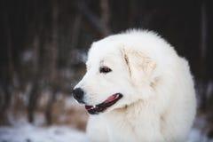 Profilowy portret wspaniałego maremmano abruzzese sheepdog W górę dużego białego puszystego psa jest na śniegu w lesie obrazy royalty free