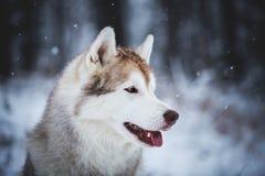 Profilowy portret wspaniały i bezpłatny Syberyjskiego husky psa obsiadanie na śniegu w tajemniczym lesie w zimie zdjęcie stock