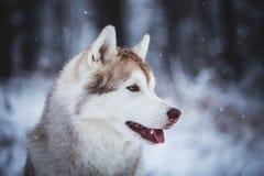 Profilowy portret wspaniały i bezpłatny Syberyjskiego husky psa obsiadanie na śniegu w tajemniczym lesie w zimie fotografia stock