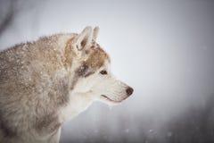 Profilowy portret wspaniały i bezpłatny Syberyjskiego husky psa obsiadanie na śniegu w tajemniczym lesie w zimie obraz royalty free