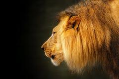 Profilowy Srogi lwa zmroku tło obraz stock