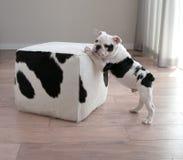 Profilowy widok czarny i biały buldoga szczeniaka pies opiera na bloku fotografia stock