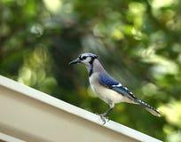 Profilowy widok piękny błękitnej sójki ptak zdjęcia stock