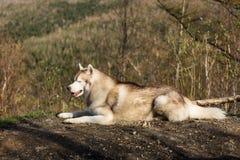 Profilowy wizerunek bezpłatny, prideful Syberyjskiego husky psa lying on the beach w lesie na pogodnym góry tle i zdjęcie stock