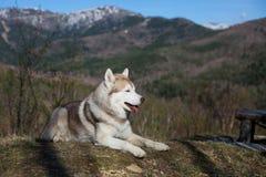 Profilowy wizerunek bezpłatny, prideful Syberyjskiego husky psa lying on the beach w lesie na pogodnym góry tle i fotografia royalty free