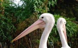 Profilporträt des Pelikans Stockfotografie