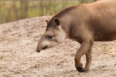 Profilporträt des südamerikanischen Tapirs Stockbilder