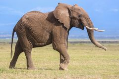 Profilporträt eines jungen männlichen Elefanten stockfotos
