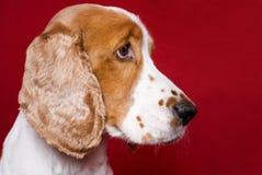 Profilportrait von Spaniel. Stockfoto