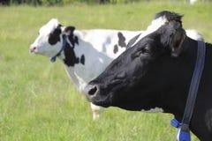 Profilsikt av Hereford mejerikor Royaltyfri Fotografi
