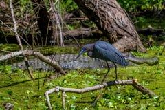 Profilskott av lite den blåa hägret (Egrettacaerulea) framme av en jätte- lös alligator i Texas. Royaltyfri Fotografi