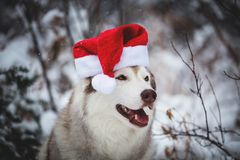 Profilstående av den roliga Siberian skrovliga hunden som bär den Santa Claus hatten i vinterskogen på snöbakgrund fotografering för bildbyråer