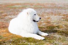 Profilstående av den ursnygga maremmafårhunden Stor vit fluffig hund som ligger på mossa i fältet på en solig dag Royaltyfri Bild