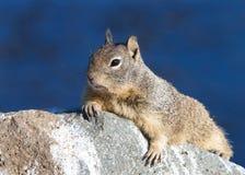 Profilstående av en jordekorre i Kalifornien Arkivfoton