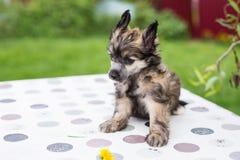 Profilståenden av gullig kines för powderpuffvalpaveln krönade hundsammanträde på tabellen på sommardag royaltyfria bilder