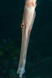 profiltrumpetfish royaltyfria foton