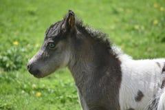 Profiluje Pięknego Białego i Czarnego Miniaturowego konia Fotografia Stock