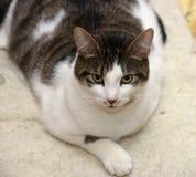 Profondément, blanc avec le chat brun photo libre de droits