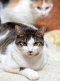 Profondément, blanc avec le chat brun images libres de droits