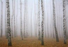 Profondément brume dans la forêt de bouleau d'automne images libres de droits
