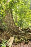 Profondément dans l'arbre le plus grand de haute jungle dans la forêt avec les racines importantes Photo libre de droits