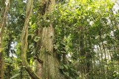 Profondément dans la haute jungle Photographie stock
