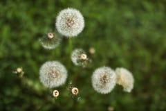 Profondeur de champ seulement une boule de fleur dans la grippe de blanc de foyer photographie stock libre de droits