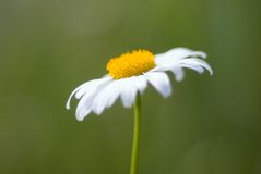 Profondità-de-campo di Chamomiles.Shallow. immagini stock libere da diritti