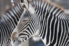 Profondità della zebra Fotografia Stock