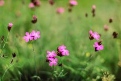 Profondità di campo bassa, soltanto pochi fiori a fuoco P Carthusian fotografia stock